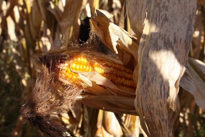Oklahoma Farm Report - Pioneer Hi-Bred Launches AQUAmax ...