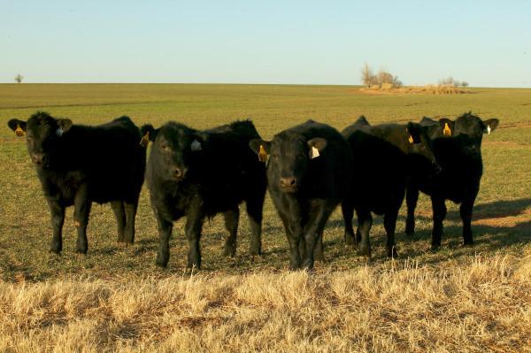 Oklahoma City Feeder Calves