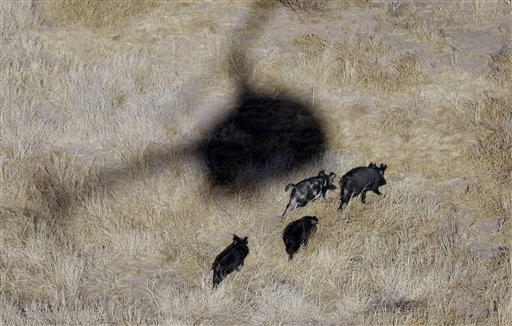 shooting wild hogs from helicopter with 05870 Aerialhoghunt02132012b 144400 on 3 likewise Watch likewise South Texas Helicopter Feral Hog Hunting Video besides Feral Hog Anatomy besides Marine Door Gunner Training Machine Gun Heaven.